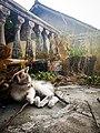 Kucing domestik Indonesia.jpg