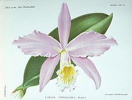LAELIA jongheana