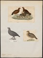 Lagopus scoticus - 1700-1880 - Print - Iconographia Zoologica - Special Collections University of Amsterdam - UBA01 IZ17100405.tif