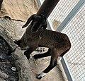 Lamb in Pata Zoo 1.jpg