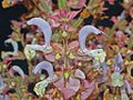 Lamiaceae - Salvia sclarea-2.JPG