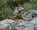 Land Iguana (46891791185).jpg