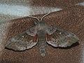 Laothoe populi - Poplar hawk-moth - Бражник тополёвый (41237993681).jpg