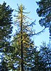 Larix occidentalis UKtallest.jpg