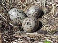 Larus dominicanus eggs Offing02.jpg
