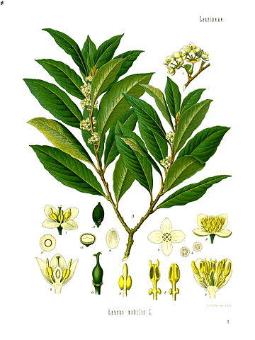 Plant Bay Laurel