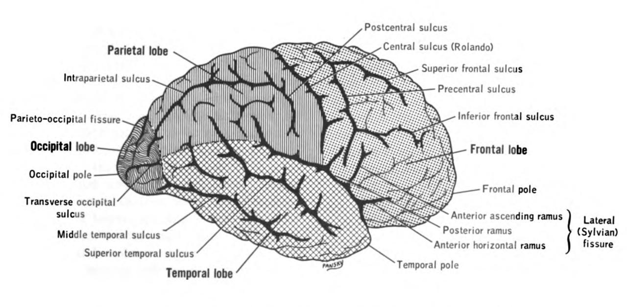 frontal lobe wiki