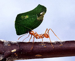 Leaf-cutting ant.jpg