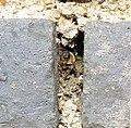 Leaf cutter bee nesting in a wall, Sandy, Bedfordshire (9330528976).jpg