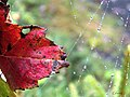 Leaf in a Web (6204723510).jpg
