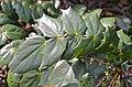 Leatherleaf Mahonia Mahonia bealei Leaves.JPG