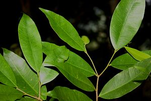 Gyrinops walla - Image: Leaves of Gyrinops walla