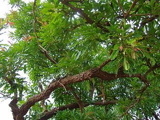 Vitellaria - Leaves of a shea nut tree