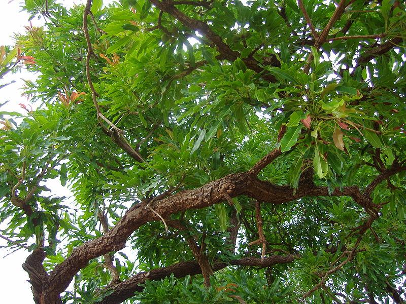 File:Leaves of Sheanut tree.JPG