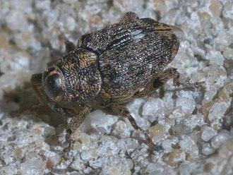 Conoderinae - Lechriops oculatus