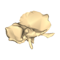 Left temporal bone close-up medial.png