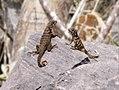 Leiocephalus Cubensis Curly-tailed Lizard CU.jpg