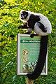 Lemur (26245148439).jpg