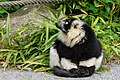 Lemur (27618547298).jpg