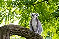 Lemur (36901233236).jpg