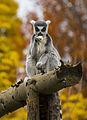 Lemur Dublin Zoo.jpg