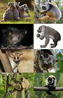 Lemur A clade of primates endemic to the island of Madagascar