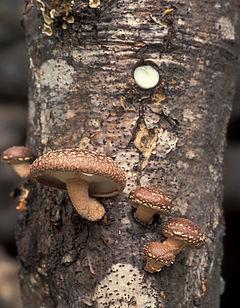https://upload.wikimedia.org/wikipedia/commons/thumb/4/4e/Lentinula_edodes_USDA.jpg/240px-Lentinula_edodes_USDA.jpg