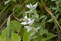Leontopodium japonicum 04.jpg