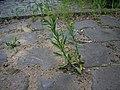 Lepidium densiflorum plant (08).JPG