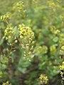 Lepidium perfoliatum-5-19-05.jpg