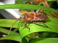 Leptoglossus occidentalis (Coreidae) (Western conifer seed bug (WCSB)) - (imago), Mook, the Netherlands.jpg