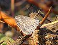 Lesser Grass Blue Zizina otis Pench TR by Dr. Raju Kasambe 428 (1).jpg