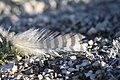 Lesser Prairie Chicken feather (24821072090).jpg