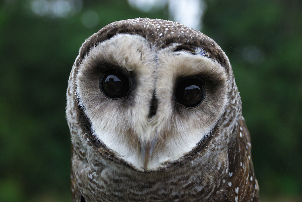 Lesser sooty owl - Wikipedia