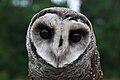 Lesser Sooty Owl at Bonadio's Mabi Wildlife Reserve.jpg