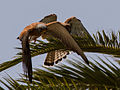 Lesser kestrel chick and its male parent - 02.jpg