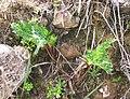 Lichtensteinia lacera plant Cape Town.JPG