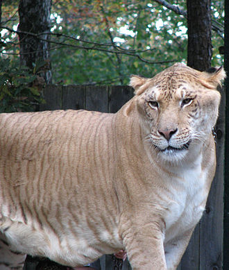Hybrid (biology) - Liger, a lion/tiger hybrid bred in captivity