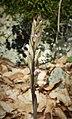 Limadore Orchid. Limodorum abortivum (45782383411).jpg