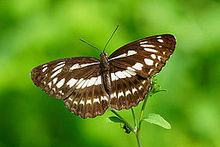 Limenitis sulpitia tricula dorsal view 20130914.jpg