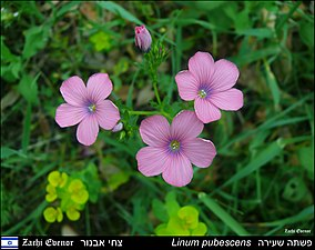 Linum-pubescens-Zachi-Evenor-001