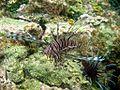 Lion Fish (5295745988).jpg