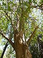 Lisbon botanical garden 19-Erythrina sp. trunk.JPG