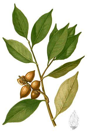 Lithocarpus - Lithocarpus pseudoreinwardtii