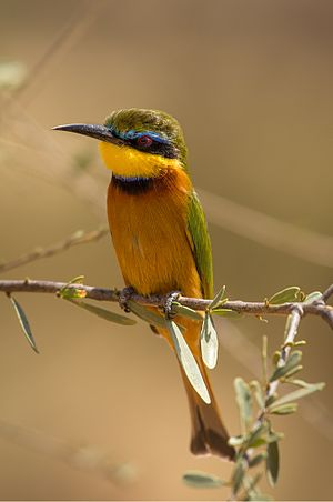 Little bee-eater - M. p. meridionalis Samburu National Reserve, Kenya