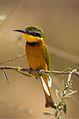 Little Bee-eater.jpeg