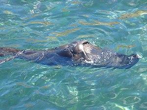 Juan Fernández fur seal - Image: Lobo fino