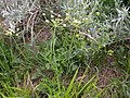 Lomatium triternatum (3624888211).jpg