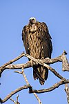 Long-billed Vulture - Bandavhgarh - India 0066 (15467561805).jpg