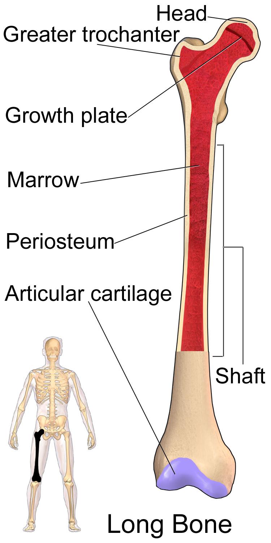 Long Bone (Femur)